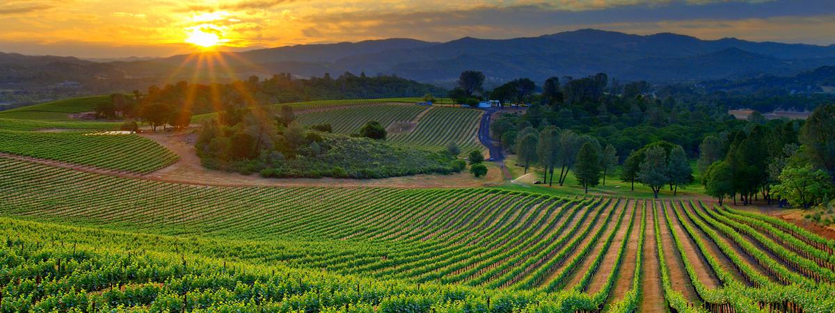 vineyard-sunset